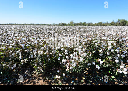 A cotton crop near Dalby, Queensland, QLD, Australia - Stock Image