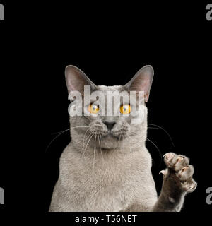 Portrait of Funny Gray Cat Raising paw with claw and Stare in Camera on isolated black background - Stock Image