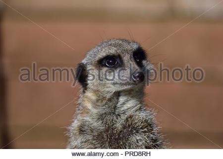 Meerkat close up - Stock Image