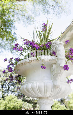 Verbena bonariensis in an ornate planter - Stock Image