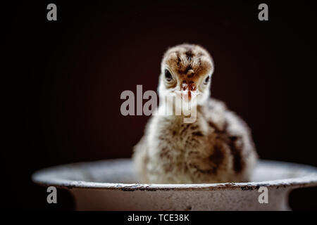 Turkey chick sitting in a dish - Stock Image