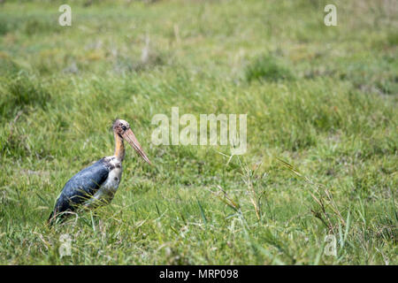 Side view of a Lesser Adjutant Stork, Leptoptilos javanicus, standing in grass in Bandhavgarh National Park, Madhya Pradesh, India - Stock Image