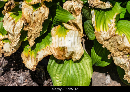 Hosta sieboldiana, a shade loving plant damaged by too much summer sun in Kansas, USA. - Stock Image