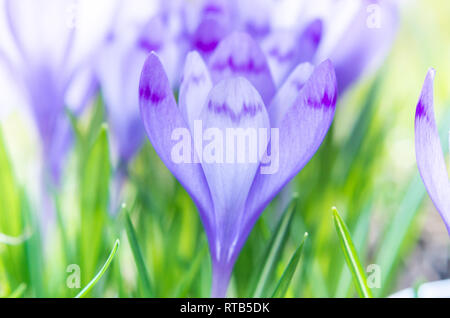 Purple flower in nature. Beautiful crocus flowers during spring. Selective focus. - Stock Image