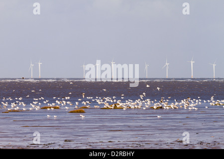 Wind turbines with flock of herring gulls on the sand at high tide Wirral England - Stock Image