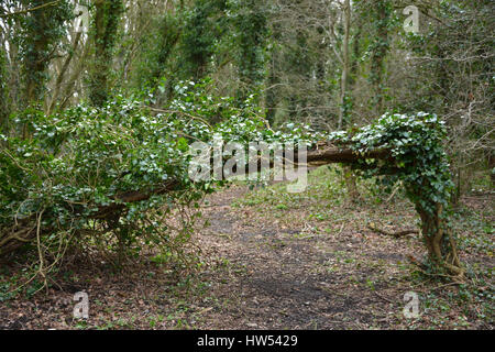 Tree on path blown down following a storm near the north Oxfordshire village of Hook Norton - Stock Image