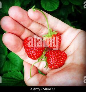 Organic home grown strawberries - Stock Image