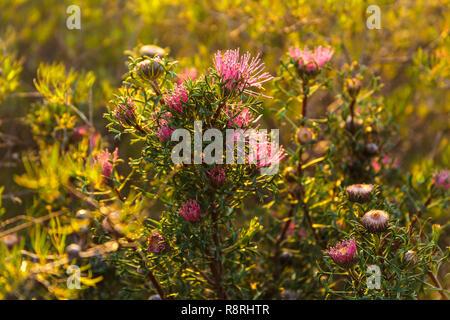 Western Australian native flower - Stock Image