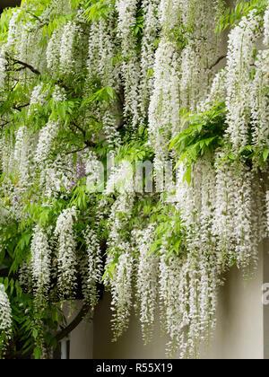 Hanging white racemes of the hardy, woody climber, Wisteria floribunda 'Alba' - Stock Image