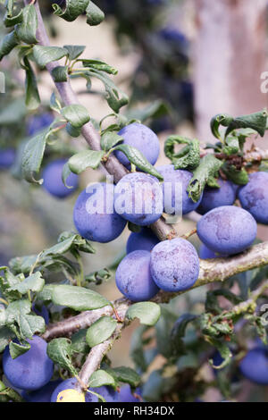 Prunus domestica subsp. insititia. Damson 'Fairleigh' growing in an English orchard. - Stock Image
