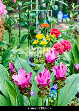 Flowering Curcuma Alismatifolia plant also known as turmeric or Siam Tulip or summer tulip blooming in a patio garden. - Stock Image