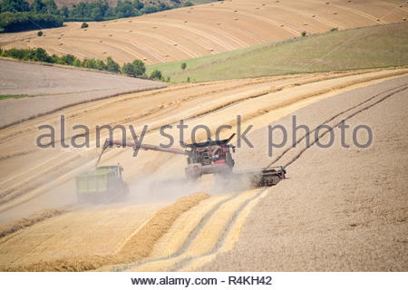 Harvest view of combine harvester cutting summer wheat field crop and tractor trailer on farm - Stock Image