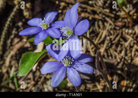 Liverleaf/ hepatica is a genus of herbaceous perennials in the buttercup family, native to central and northern Europe, Asia and eastern North America - Stock Image