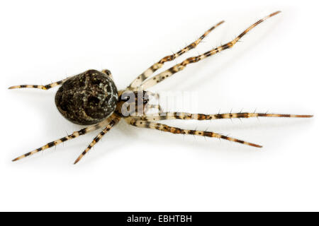 A female Longjawed orbweaver (Metellina merianae) on white background. Longjawed orbweavers are part of the family - Stock Image