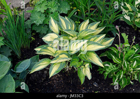 Hosta 'June' in a cottage garden - Stock Image