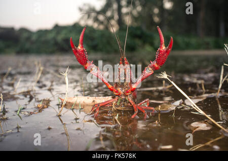 Red swamp crawfish near Guadiana riverside, Badajoz, Spain. Freshwater crayfish specie with menacing attitude - Stock Image