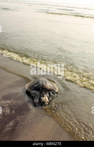 A turtle dead on a beach washed on the shores by water polluted by humans - Stock Image