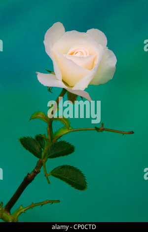Passion of a Rose - Stock Image