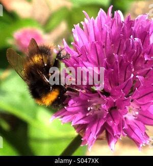 Honey Bee on Chive Flower - Stock Image