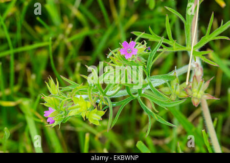 cut leaved cranesbill Geranium dissectum, Cressbrook Dale NNR Peak District National Park June 2014 - Stock Image