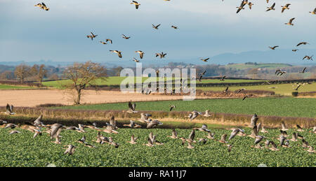 A flock of Greylag Geese (anser anser) invading a young crop of Oilseed Rape in winter sunshine - Stock Image