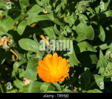 Orange Gerbera daisy garden plant - Stock Image