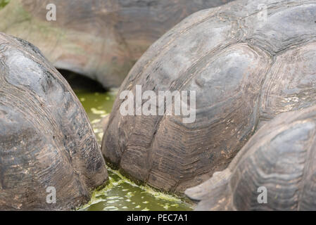 Close-up of Giant Tortoise shells, Galápagos - Stock Image