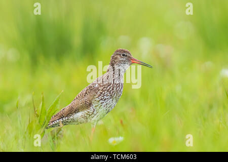 Common redshank (tringa totanus) wader bird perched on a vibrant meadow.  These Eurasian wader bird are common breeders in the agraric grassland of th - Stock Image