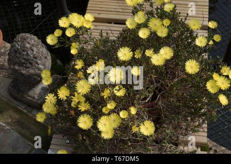 Yellow Lampranthus spectabilis - Stock Image