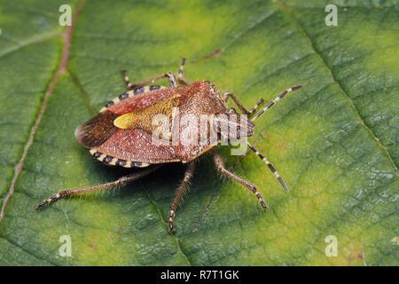 Hairy Shieldbug (Dolycoris baccarum) resting on a bramble leaf. Tipperary, Ireland - Stock Image