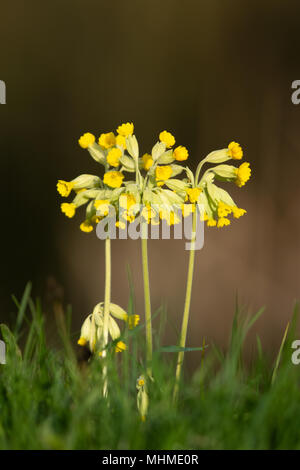 Cowslip (Primula veris) flowers in a a grassy meadow - Stock Image