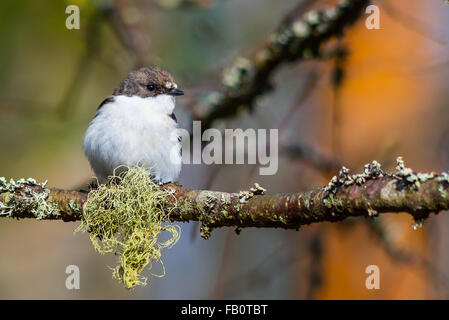 Single European pied flycatcher bird sitting on branch - Stock Image