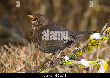 Blackbird, Turdus merula female, Amsel (Turdus merula) Weibchen - Stock Image