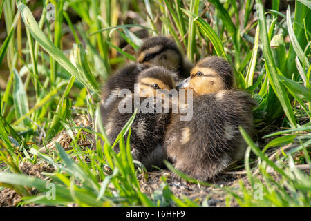 Mallard ducklings huddled together amongst grass on the river bank in spring sunlight - Stock Image