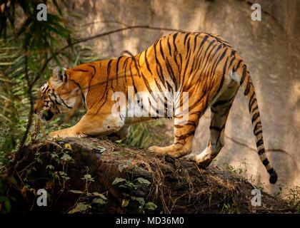 wild tiger in park - Stock Image
