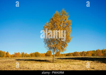 Birch tree with golden yellow foliage in autumn. Bitsevski Park (Bitsa Park), Moscow, Russia. - Stock Image