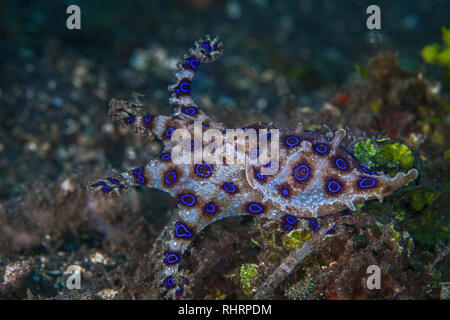 Bluering octopus flairs tentacles as it escapes. Lembeh Straits, Indonesia. - Stock Image