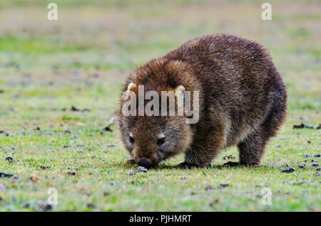 common wombat Vombatus ursinus tasmaniensis, Narawntapu National Park, Tasmania, Australia - Stock Image