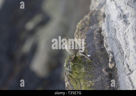 Rock Pipit, Anthus petrosus, on cliff edge - Stock Image