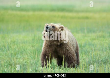 Solitary wild adult Grizzly Bear, Ursus arctos, Lake Clark National Park, Alaska, USA - Stock Image