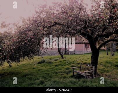 Mature Apple Tree - Stock Image