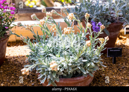 helichrysum orientale, Everlasting flowers, Everlasting flowers plant, everlasting, immortelle,  immortelle plant,  immortelle flowers, plant, flowers - Stock Image