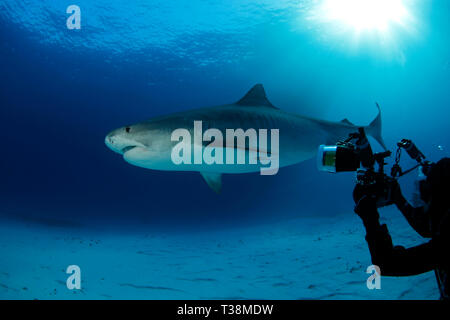 Tiger Shark over Sand Bottom, with Sun Bursts through the Surface. Tiger Beach, Bahamas - Stock Image