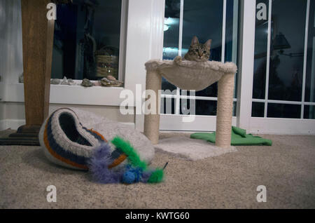 Trip, our 5-month-old kitten, lounges in his bed. - Stock Image