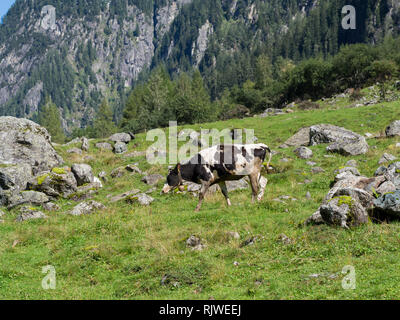 Cow on meadow - Stock Image