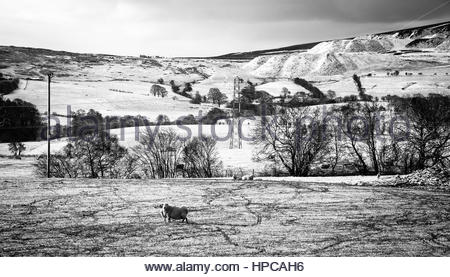 Sheep grazing on snow covered hills at Bryneglwys, ner Llangollen, North Wales at the end of April 2016. Black and - Stock Image