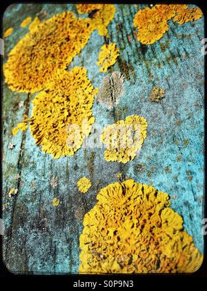 Yellow lichen on old blue painted wood - Stock Image