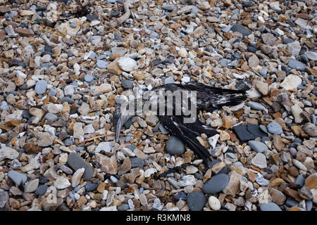 Oiled dead seabird washed up on the famous Jurassic coast beach between Charmouth and Lyme Regis in West Dorset UK - Stock Image