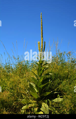 single verbascum with closed flowers in early july beside a field, great mullein or common mullein or verbascum in front of azure sky as rural backdro - Stock Image
