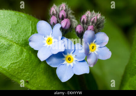 Forget-me-not flowers close up - Stock Image